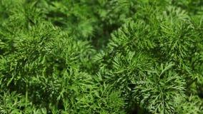 Folhas das cenouras, fim acima video estoque