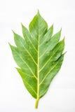 Folhas das frutas-pão fotografia de stock