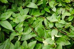 Folhas das madressilva Imagem de Stock Royalty Free