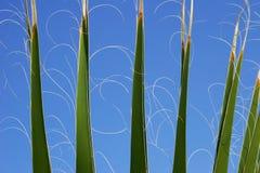 Folhas das palmeiras Foto de Stock Royalty Free