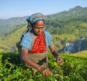 Folhas das picaretas da mulher da máquina desbastadora do chá imagens de stock royalty free