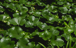 Folhas das plantas Foto de Stock Royalty Free