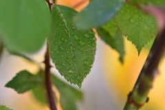 Folhas das rosas Imagem de Stock