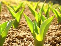 Folhas das tulipas na mola adiantada Fotografia de Stock Royalty Free