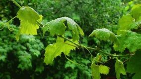 Folhas das uvas na chuva vídeos de arquivo