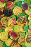 Folhas de Aspen Fotografia de Stock