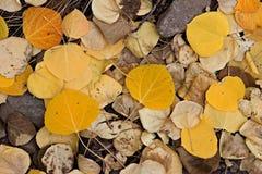 Folhas de Aspen Imagens de Stock Royalty Free