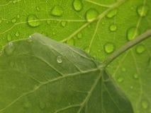 Folhas de Aspen com gotas da água Fotografia de Stock Royalty Free