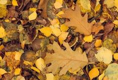 Folhas de Autamn imagens de stock royalty free
