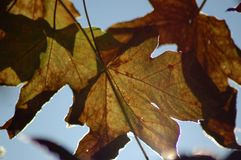 Folhas de Autum Imagens de Stock