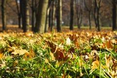 Folhas de Autumal na grama no close-up do parque Fotografia de Stock Royalty Free