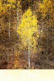 Folhas de Autumn Aspen Trees Fall Colors Golden e mapa branco do tronco imagens de stock royalty free