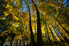 Folhas de Autumn Colors Maple Tree Yellow da queda Imagem de Stock Royalty Free