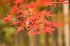 Folhas de Autumn Maple do japonês do fundo Imagens de Stock