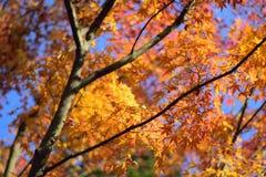 Folhas de Autumn Maple do japonês do fundo Imagem de Stock Royalty Free