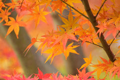 Folhas de Autumn Maple do japonês do fundo Fotografia de Stock