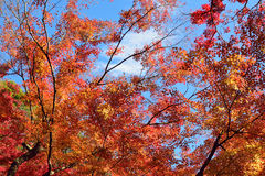 Folhas de Autumn Maple do japonês do fundo Fotografia de Stock Royalty Free
