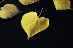 Folhas de Autumn Yellow Maple na placa de madeira preta Fotos de Stock Royalty Free