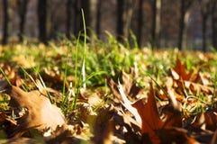 Folhas de Autumnall no close-up da grama Fotografia de Stock