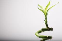 Folhas de bambu imagem de stock royalty free
