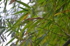 Folhas de bambu verdes Imagem de Stock Royalty Free