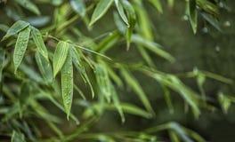 Folhas de bambu verdes frescas com gotas da água foto de stock royalty free