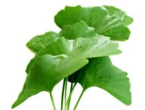 Folhas de Biloba Fotografia de Stock