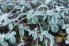 Folhas de Blackberry cobertas com a geada Fotos de Stock Royalty Free