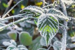 Folhas de Blackberry cobertas com a geada Fotografia de Stock