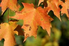 Folhas de bordo alaranjadas Fotografia de Stock