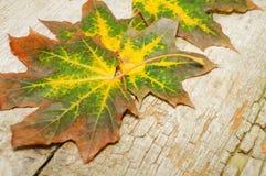 Folhas de bordo amarelas Imagens de Stock