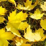 Folhas de bordo amarelas Foto de Stock