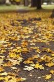 Folhas de bordo amarelas caídas na terra Fotografia de Stock