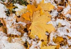 Folhas de bordo amarelas cobertas com a neve Fotos de Stock