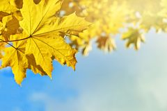Folhas de bordo amarelas com céu azul Fotos de Stock Royalty Free