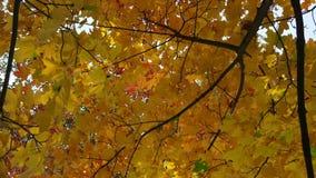 Folhas de bordo amarelas contra o céu azul 4K video estoque