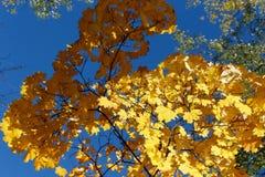 Folhas de bordo amarelas contra o c?u Um ramo ? iluminado pelo sol, e pelo outro na m?scara foto de stock royalty free