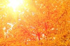 Folhas de bordo amarelas do outono Fotografia de Stock