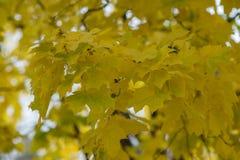 Folhas de bordo amarelas do outono foto de stock