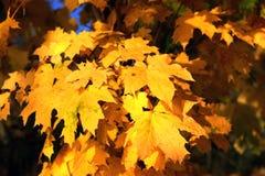 Folhas de bordo amarelas do outono no dia ensolarado Fotografia de Stock Royalty Free