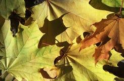Folhas de bordo amarelas do outono que caem e que sobrepõem-se Imagem de Stock