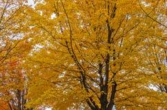 Folhas de bordo amarelas e alaranjadas em um parque fotografia de stock