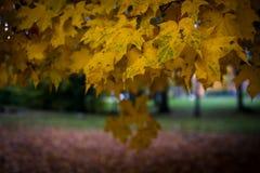 Folhas de bordo amarelas e verdes em um dia enevoado no outono fotografia de stock royalty free