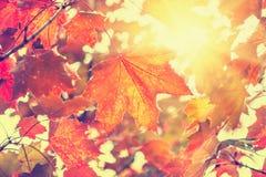 Folhas de bordo amarelas e vermelhas Imagens de Stock