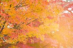 Folhas de bordo amarelas e vermelhas na estação do outono Fotografia de Stock Royalty Free