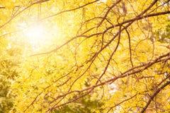 Folhas de bordo amarelas em um galho no outono em Boston Fotografia de Stock
