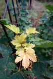 Folhas de bordo amarelas em uma árvore fotografia de stock royalty free