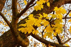 Folhas de bordo amarelas em uma árvore em um dia ensolarado do outono Foto de Stock