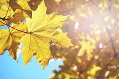 Folhas de bordo amarelas iluminadas por raios do sol Fotografia de Stock Royalty Free