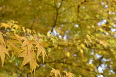 Folhas de bordo amarelas na árvore de bordo Fotografia de Stock